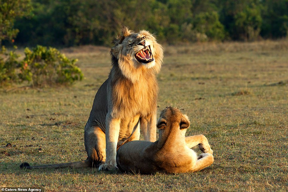The young male shows its fangs as its front legs stand either side of the female's rear; a male lion will follow a lionness impatiently as she trails a strong odor behind her when she is in heat