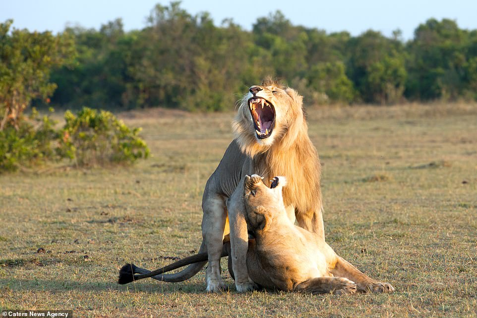 The lion roars with its jaws wide and showing massive fangs as it stands astride the lioness who roars back at him; photographer, Vclav Ilha, 55, said: 'I like my photos to capture some interaction. Whether among animals, nature or advancing civilization'