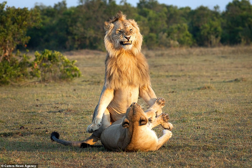 Rampant: The lions rocks back on its hind quarters as it grins down at the lioness who looks back at him, lying on her back, as the pair prepare to mate in Maasai Mara National Reserve in the south east of Kenya