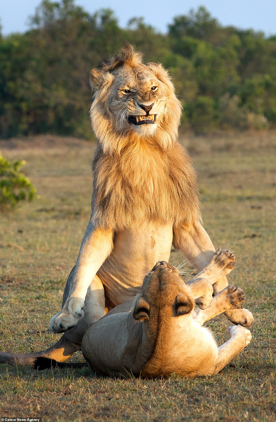 The lion's face is scrunched in anticipation or frustration as it flexes above the lioness who growls back at him from the ground; lions do not mate at a specific time of year and the females are polyestrous, meaning they can go into heat several times throughout the year