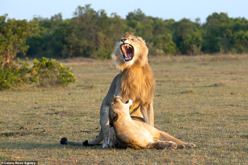 The lion roars and the female roars back at him as he prepares to mount; when lionesses are ready to mate they will raise their tails and stimulate males by rubbing or crawling at their feet