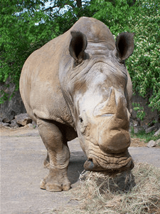 The Knoxville Zoo posted this photo of a white rhino on its animal information pages.