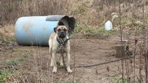 A Time 4 Paws found Angel tied with a heavy chain to a concrete block with no food or clean water in December 2014. (Photo by Karen McMeekin / Used by permission)