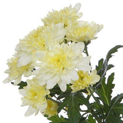 Zembla Cream