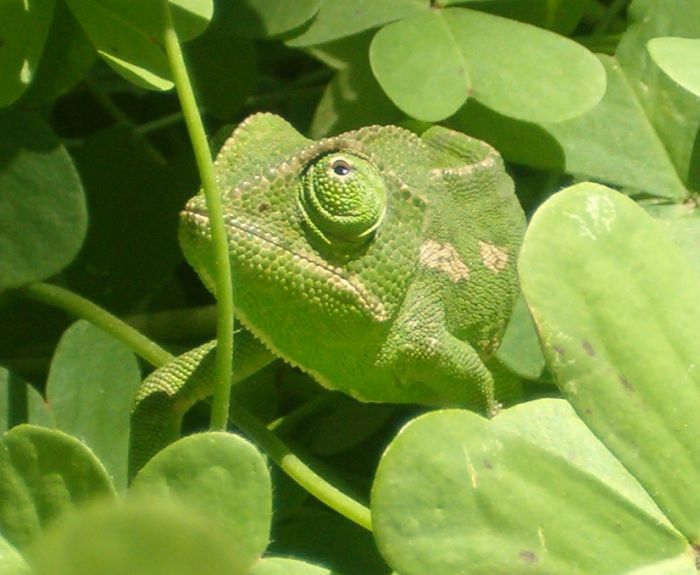 close up of chameleon in greenery