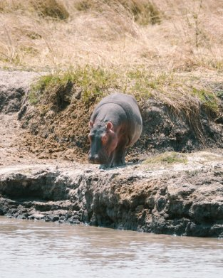 Hippo Katavi Tanzania