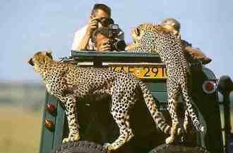Guépards grimpent sur la voiture - Safaris au Masaï Mara par avion de Diani