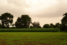 One of the lush farms that will go if NPP comes up in Mithi Virdi ..