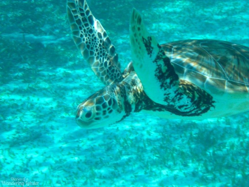 Sea Turtle Hol Chan Marine Reserve Belize
