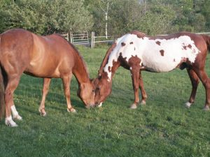 Phoebe and Duke grazing in the pasture