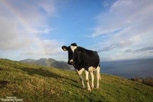 Rainbow cow Sao Miguel Azores