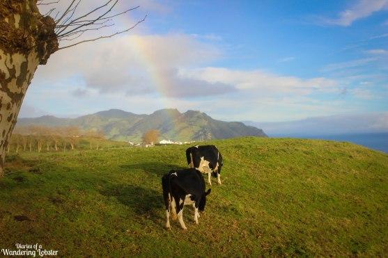 Sao Miguel Azores cows