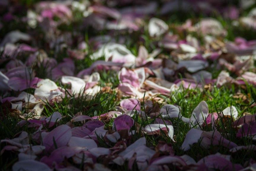 fallen cherry blossom petals