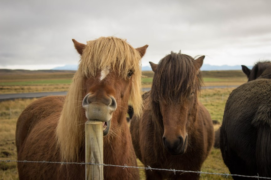 Icelandic horses Iceland travel photos of 2015