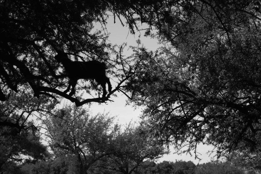 tree climbing goats Morocco photos