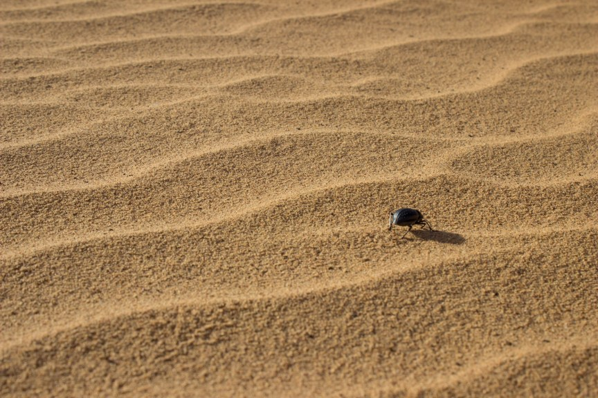 [img] desert bettle Morocco travel tour