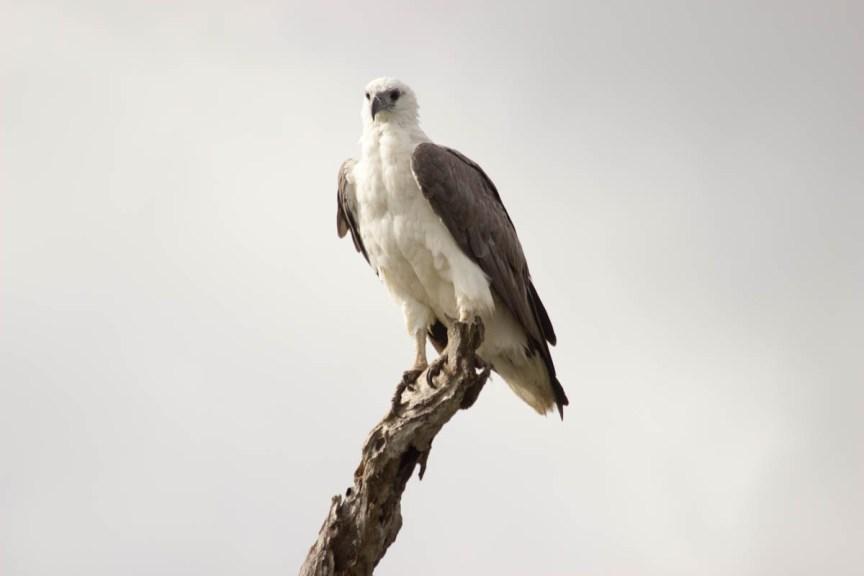 [img] Kakadu and Litchfield tours sea eagle