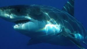 [img] Gres White sharks South Africa