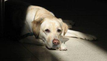 ceguera diabetes perros salvajes