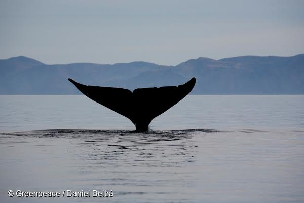 The tail of a Blue whale surfaces from the ocean. Greenpeace are in the area to document the Grey whale (Eschrichtius robustus) and other marine life in various parts of the Pacific Ocean.