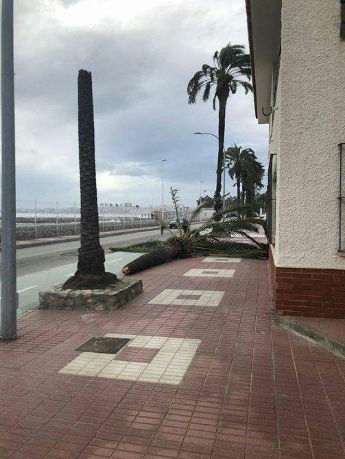 Palmera caída en Caleta de Vélez.
