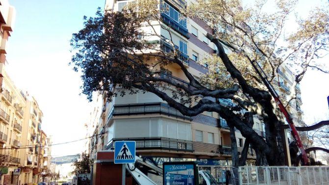 Tareas de poda para suprimir una rama seca del ficus centenario.