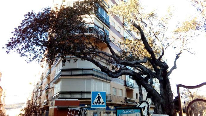 El ficus, que está enfermo, ha perdido las hojas de una de las ramas y se ha secado a pesar de los cuidados extremos realizados en los últimos años.