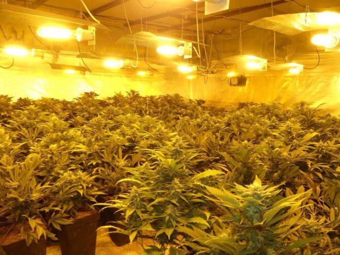 La Policía Nacional se incauta de 443 plantas de marihuana en un criadero de gallos en Vélez-Málaga