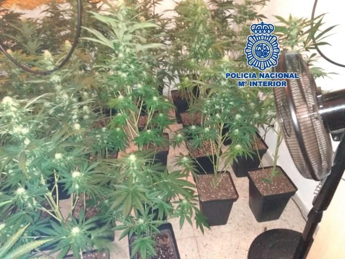 La Policía Nacional detiene a una mujer que convivía con sus hijos menores en un piso que albergaba 128 plantas de marihuana