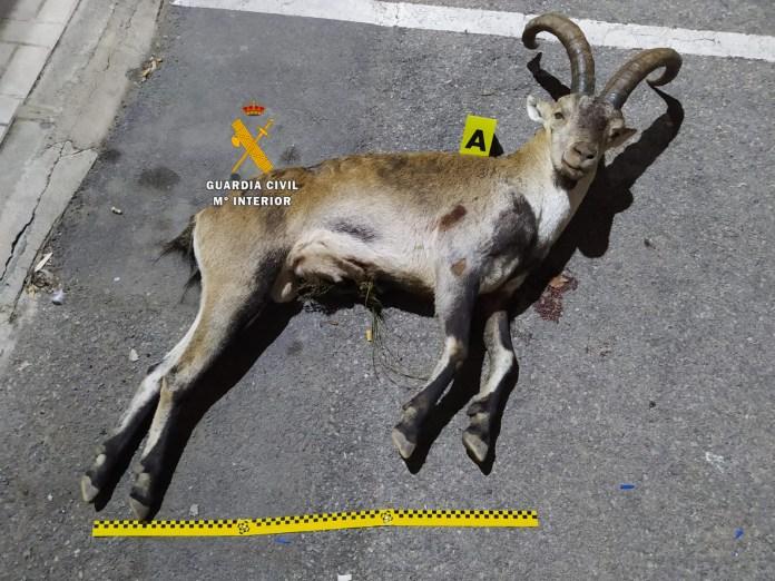 Cazaron una cabra montés con un revólver, arma que está prohibida para la caza y cuya munición había sido manipulada.