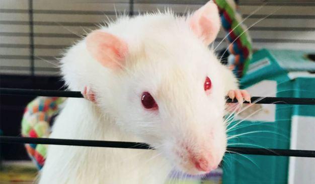 Rata Blanca ojos rojos en jaula tomada de Unsplash - Imagen de uso libre