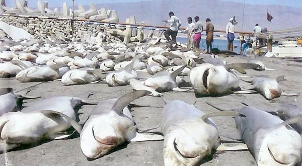 Justicia de Costa Rica emite primera sanción por pesca de tiburón