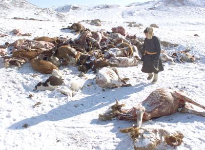 El frío extremo diezma el ganado de los nómadas de Mongolia