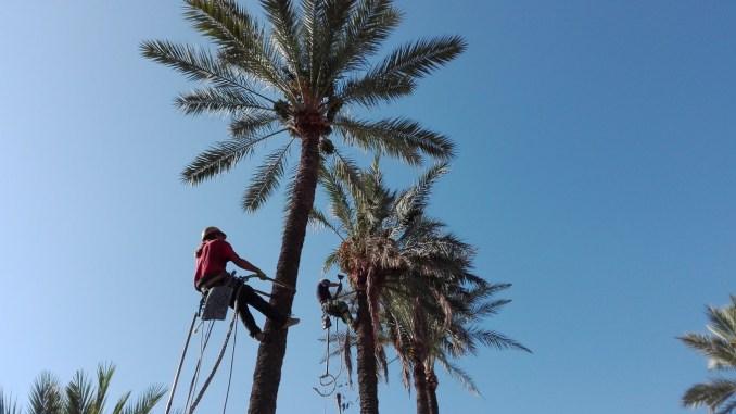 podas palmeras