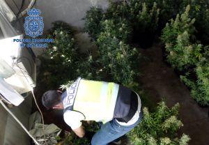 Detienen en Orihuela a cinco personas que usaban ocho viviendas de una misma calle para cultivar marihuana