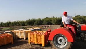 La granada mollar abre las inscripciones de los agricultores de la Vega Baja a la Denominación de Origen por vía telemática debido al coronavirus