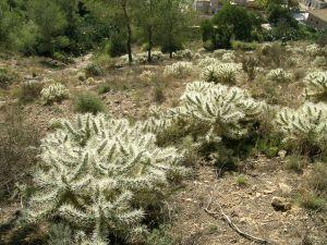 Medio Ambiente considera que los trabajos de la Conselleria para eliminar el cactus Arizona serán insuficientes