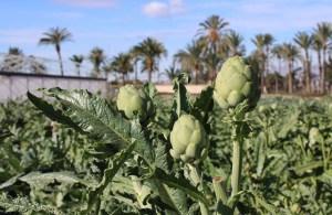 La Alcachofa Vega Baja colabora en una jornada técnica sobre el cultivo que analizará las posibilidades de mercado y las perspectivas de la blanca de Tudela