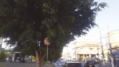 Prefeitura afirma que não recebeu solicitação de poda, mas vai abrir ordem de serviço. Foto: Divulgação