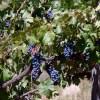 FIA lidera proyectos que potenciarán producción y calidad de vinos en el Valle del Itata