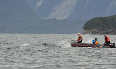 Ballenas jorobadas estarían cortejándoseen Golfo del Corcovado según estudios de Fundación MERI