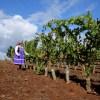 """Emblemático proyecto """"Buchahueico"""" de Viña San Pedro recibe dos excepcionales reconocimientos"""