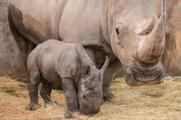 """Buin Zoo presentó a """"Atanasio"""", el primer Rinoceronte Blanco que nace en Latinoamérica durante la pandemia."""