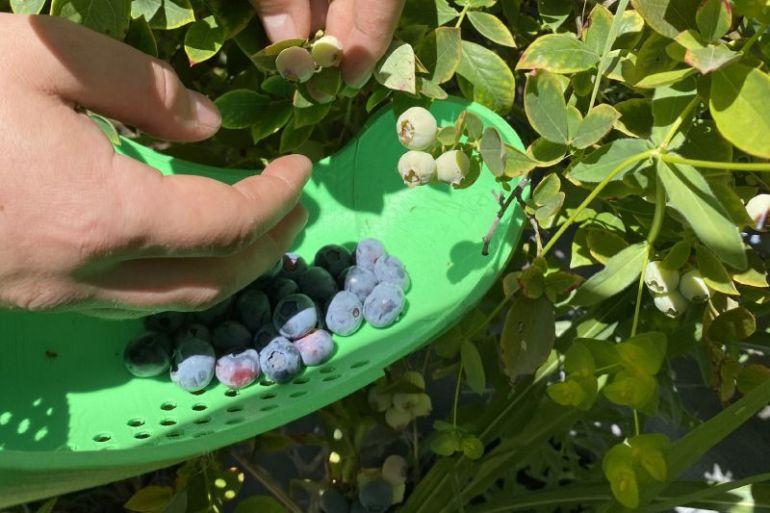 Joven diseña herramienta para la cosecha manual de arándanos y prevención del contagio covid-19