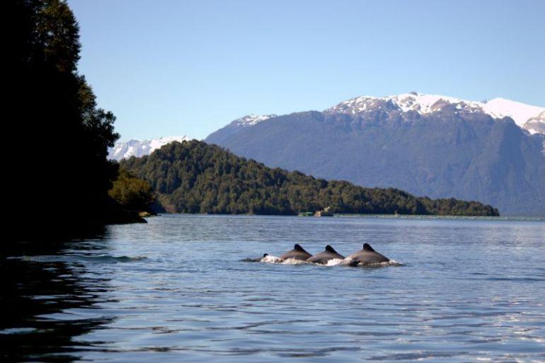 Estudio pionero estima las amenazas y el estado de salud del delfín chileno en la Patagonia Norte