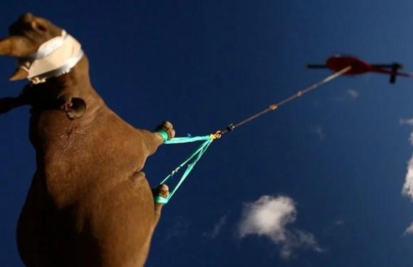 Experimento que cuelga a rinocerontes de sus extremidades para trasladarlos vía aérea, gana Premio Ig Nobel