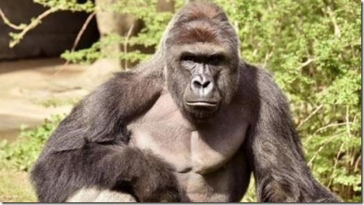 "Harambe - shot dead ""just in case"" in USA"