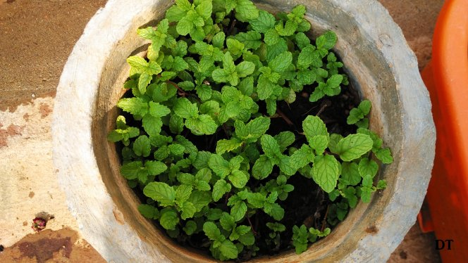 grow your own mint
