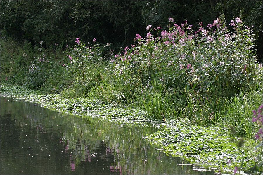 Image result for himalayan balsam river