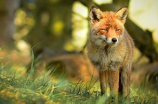 15 Fatos fascinantes sobre as raposas